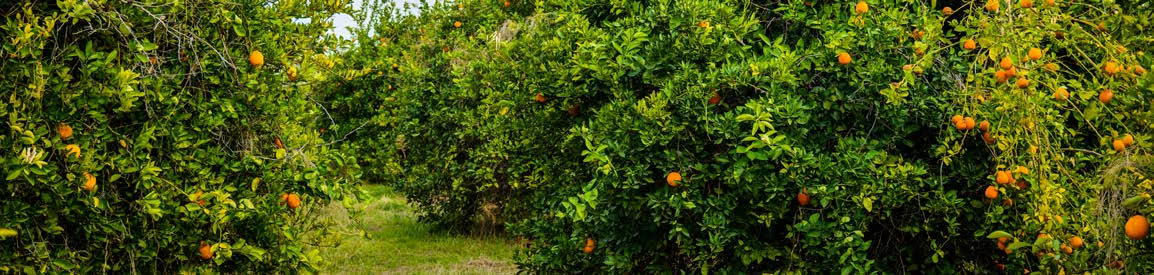 Image of citrus grove